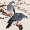 东方斑鸠的头像