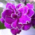你好!紫罗兰的头像